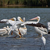 White Pelican landing into a group of others.
