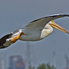 White Pelican in flight.