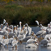 White Pelicans.