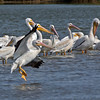 Large group of White Pelicans with one landing.