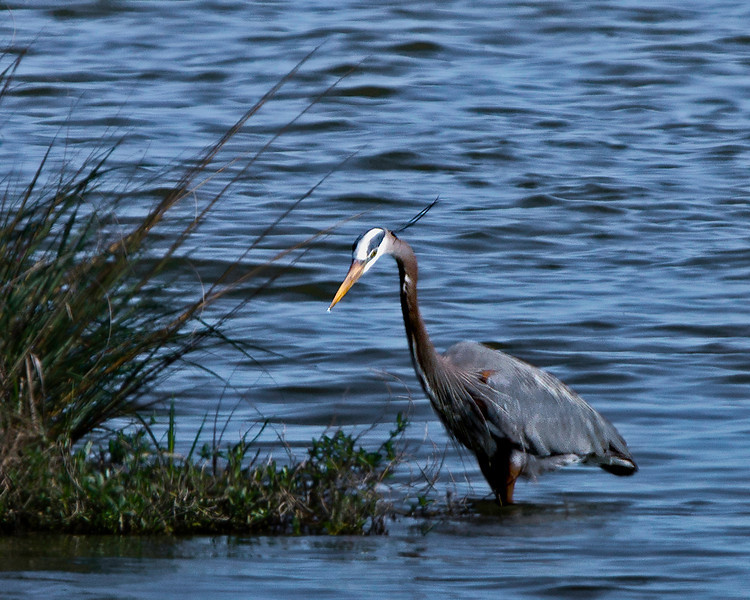 Great Blue Heron about 100 yards away.