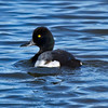 Male Scaup.