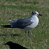 Laughing Gull beside the parking lot at the back of the Monument Restaurant.