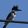 Male Belted Kingfisher.
