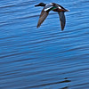 Male Northern Shoveler in flight.
