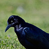 """Grackle.  Shot with the Sony A77 in-camera 3-shot HDR.  Was taken right out the window in the back parking lot of Monument Restaurant.  Bird was very close and was shot with an equivalent of 600mm, therefore the depth of file was probably between 2 and 3"""" if that."""
