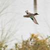 Green-wing Teal in flight.  About 100 yards.