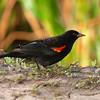 Red-winged Blackbird<br /> Agelaius phoeniceus