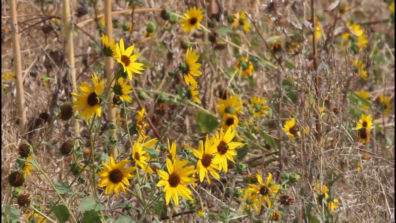 Among Yellow Flowers