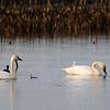 Tundra Swans along Staten Island Rd