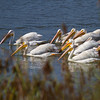 White Pelican Gang