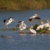 Landing White Pelicans