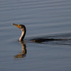 Doulble Crested Cormorrant