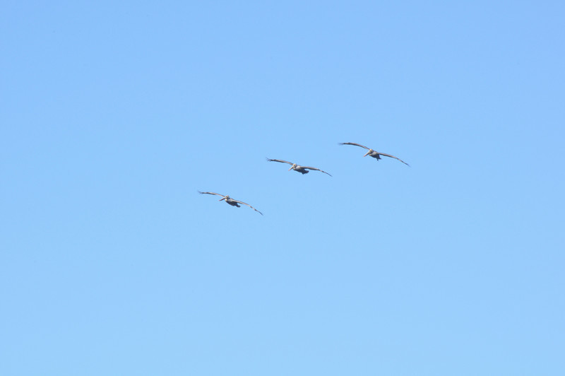 3 Pelicans<br /> Copyright © 2010 San Jose Chinese Catholic Community - Cantonese