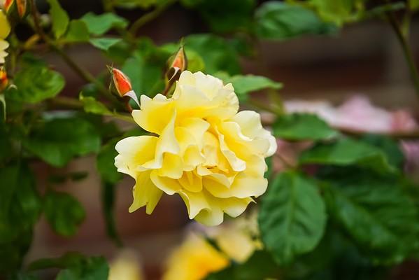 San Jose Rose Garden 05-19-15