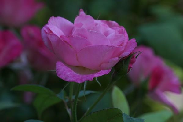 San Jose Rose Garden 08-23-15