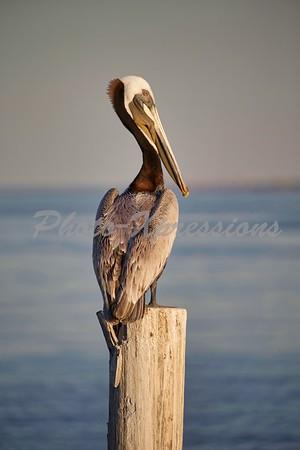 Pelican_4004