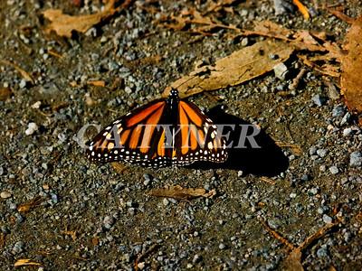 Monarch Butterfly San Luis Obispo Ca 11