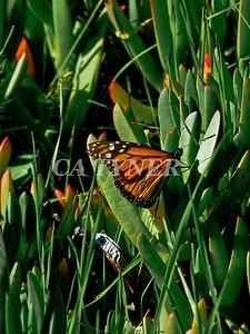 Monarch Butterfly San Luis Obispo Ca 12