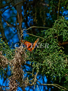 Monarch Butterfly San Luis Obispo Ca 6