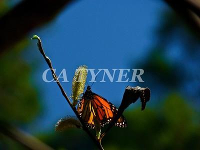 Monarch Butterfly San Luis Obispo Ca 16
