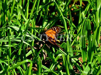 Monarch Butterfly San Luis Obispo Ca 10
