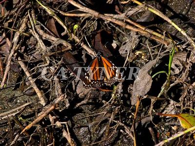 Monarch Butterfly San Luis Obispo Ca 18