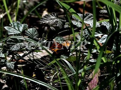 Monarch Butterfly San Luis Obispo Ca 14