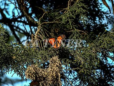 Monarch Butterfly San Luis Obispo Ca