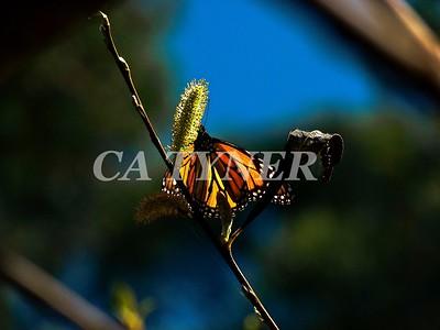 Monarch Butterfly San Luis Obispo Ca 15