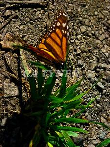 Monarch Butterfly San Luis Obispo Ca 5