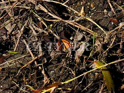 Monarch Butterfly San Luis Obispo Ca 17