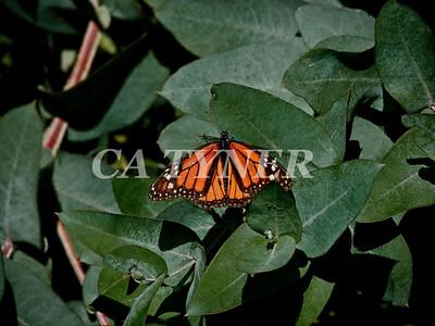 Monarch Butterfly San Luis Obispo Ca 2
