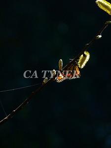 Monarch Butterfly San Luis Obispo Ca 13