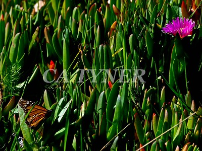 Monarch Butterfly San Luis Obispo Ca 9