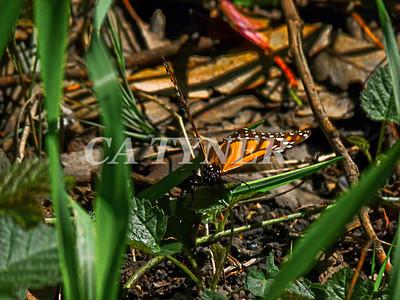 Monarch Butterfly San Luis Obispo Ca 1