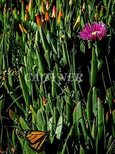 Monarch Butterfly San Luis Obispo Ca 7