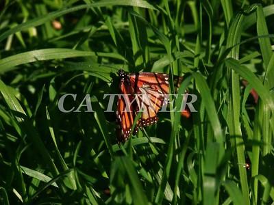 Monarch Butterfly San Luis Obispo Ca 8