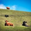 prefumo canyon cows 4231-