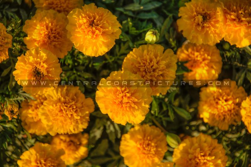 edna valley flower field 2732