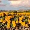 edna valley flower field 2718