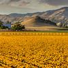 edna valley flower field 2725
