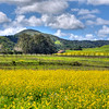 slo barn yellow flowers_5984