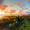 edna-valley-vineyard-sunset_9732