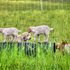 SLO LOVR goats dog 5204