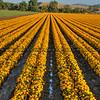 edna flower field 2756