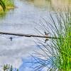 laguna lake ducks 5172
