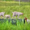 SLO LOVR goats dog 5205
