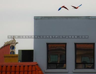 slo-parrots-7727