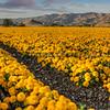 edna valley flower field 2726